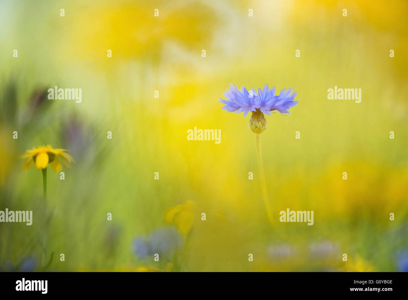 Bachelor Button Plant Flower Medicinal Uses Germany National Flower Stock Photos & Germany National