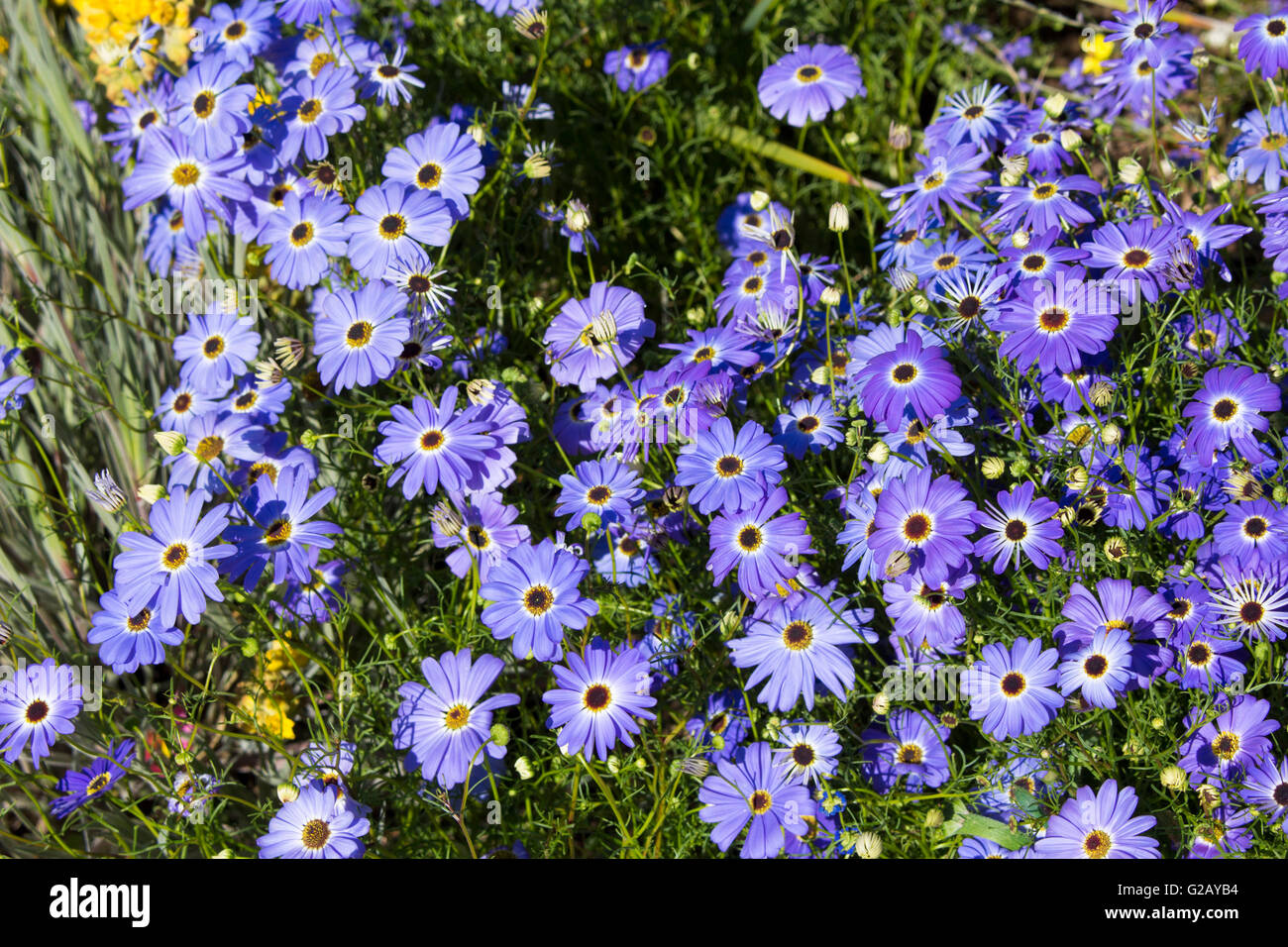 Blue Flowers Australia Flowers Perth Stock Photos And Flowers Perth Stock Images