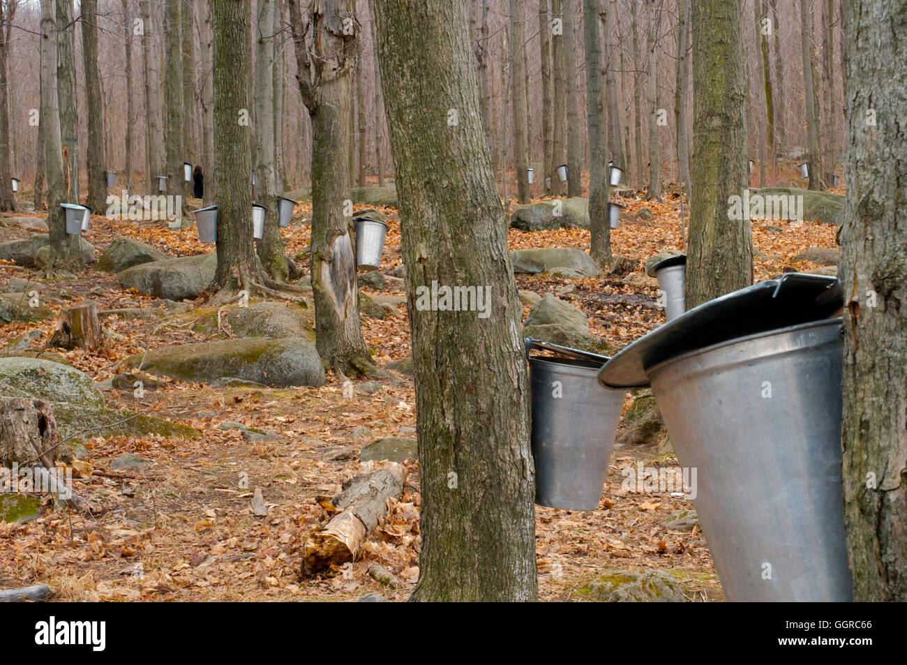 Fall Harvest Wallpaper The Maple Syrup Farms Cabanes 224 Sucre Of Quebec During