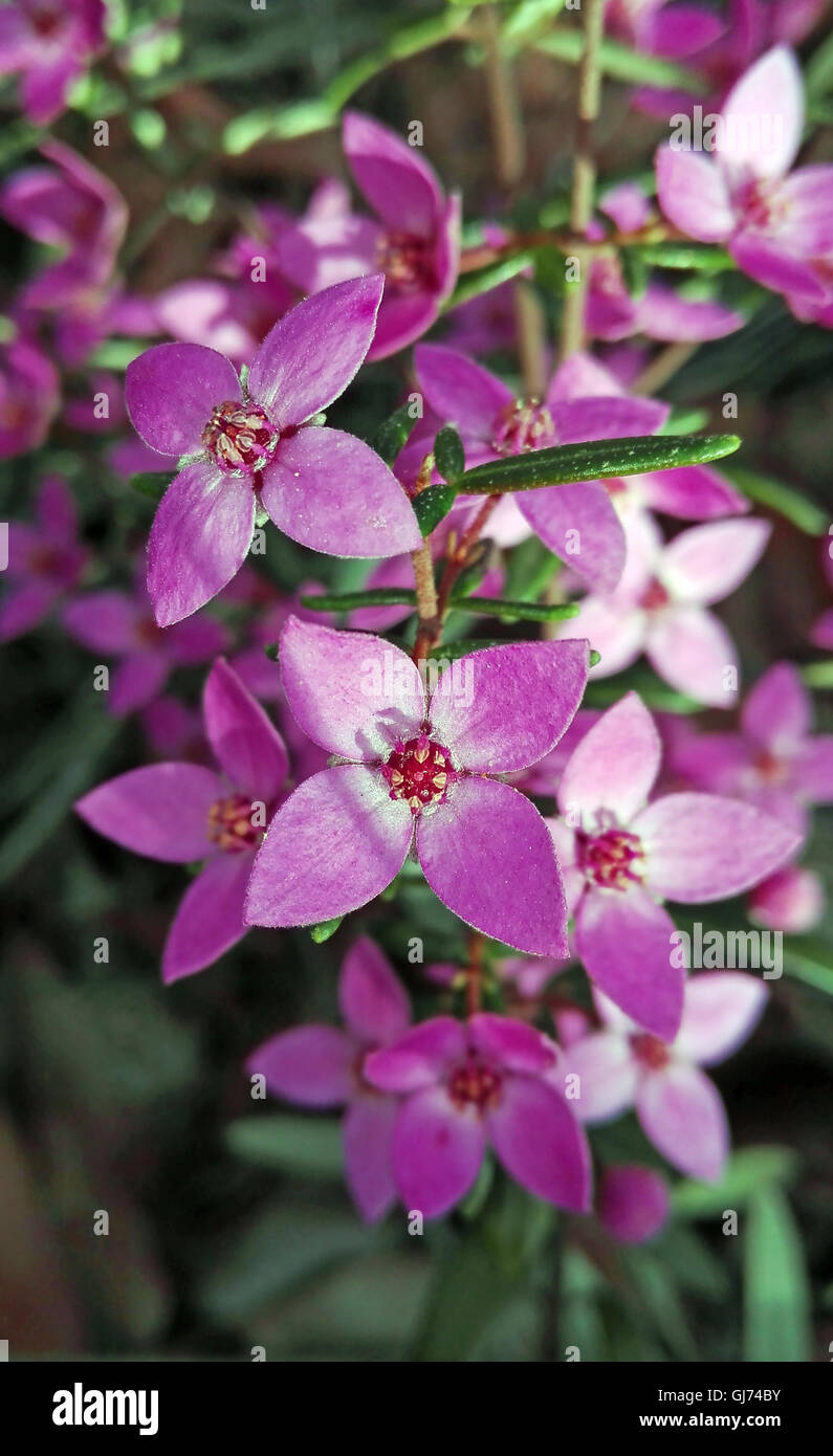 Pink Flowers Australia Pink Flowers Of Australian Native Boronia Growing In Eucalyptus