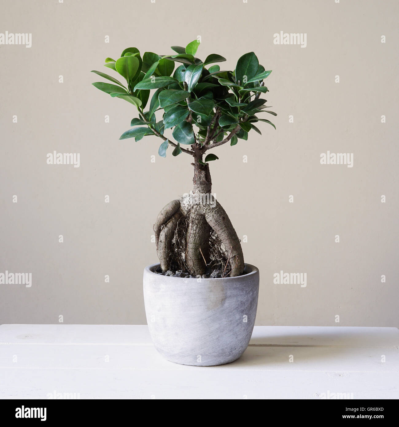 Ginseng Baum Ficus Plant Indoor Stock Photos And Ficus Plant Indoor Stock