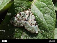 Carpet Moth Stock Photos & Carpet Moth Stock Images - Alamy
