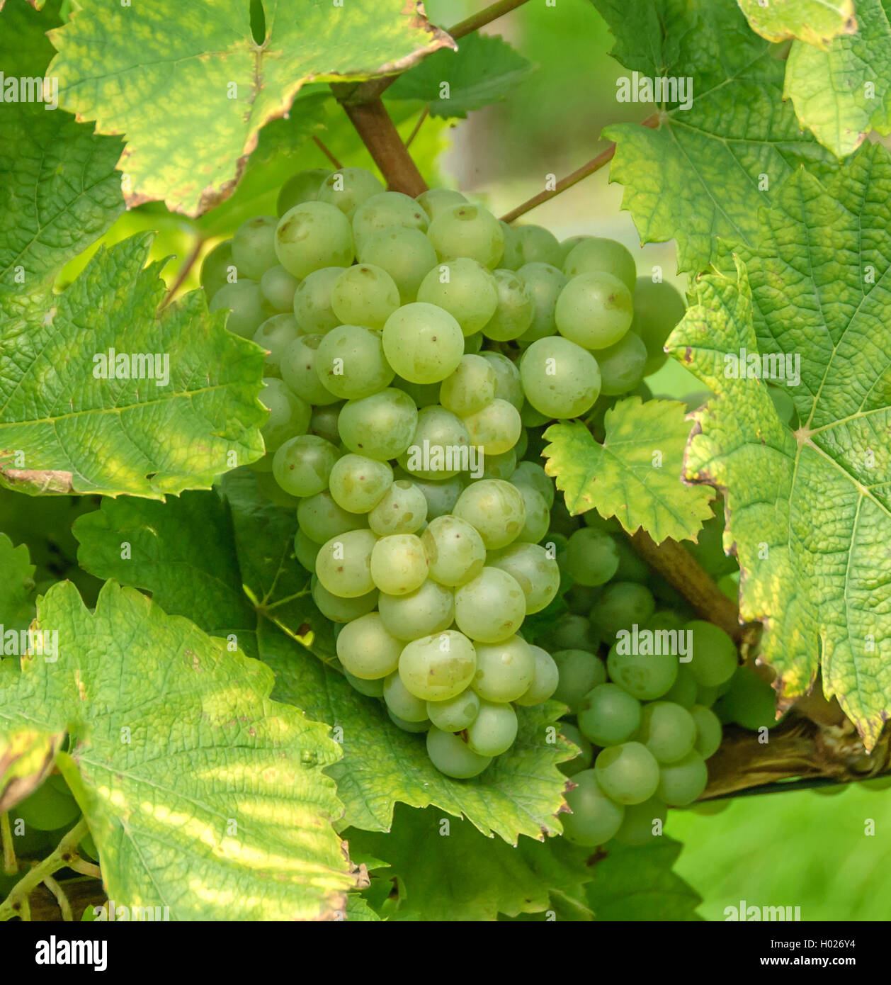Echter Wein Weinrebe Stock Photos And Weinrebe Stock Images Alamy