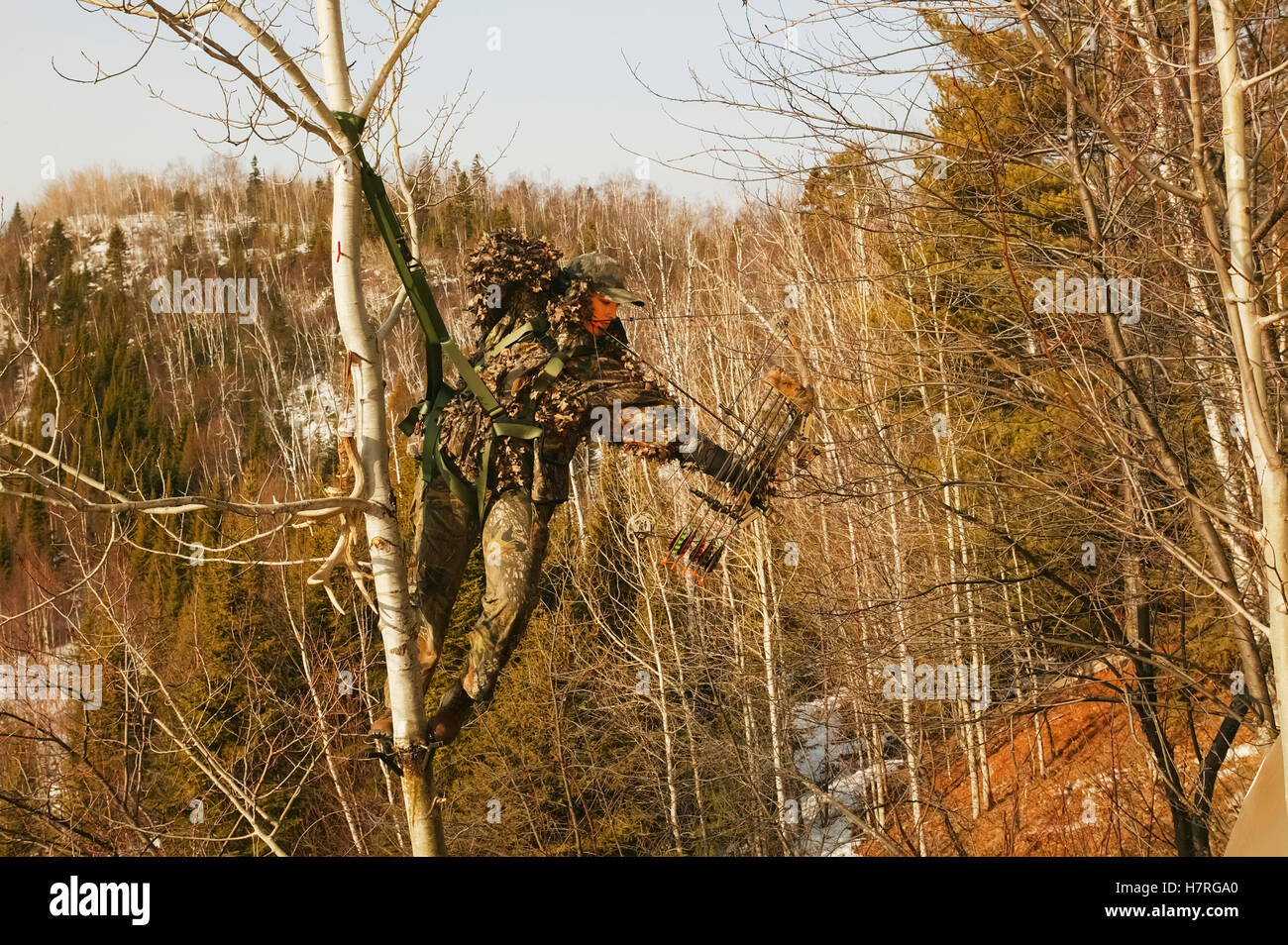 Fall Wallpaper With Deer Bowhunter In Tree Saddle Drawing Bow Stock Photo