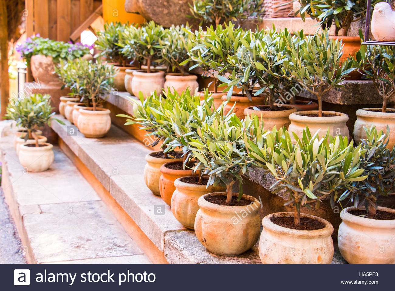 Flower Pots For Sale Olive Trees In Terracotta Planting Pots For Sale Flower