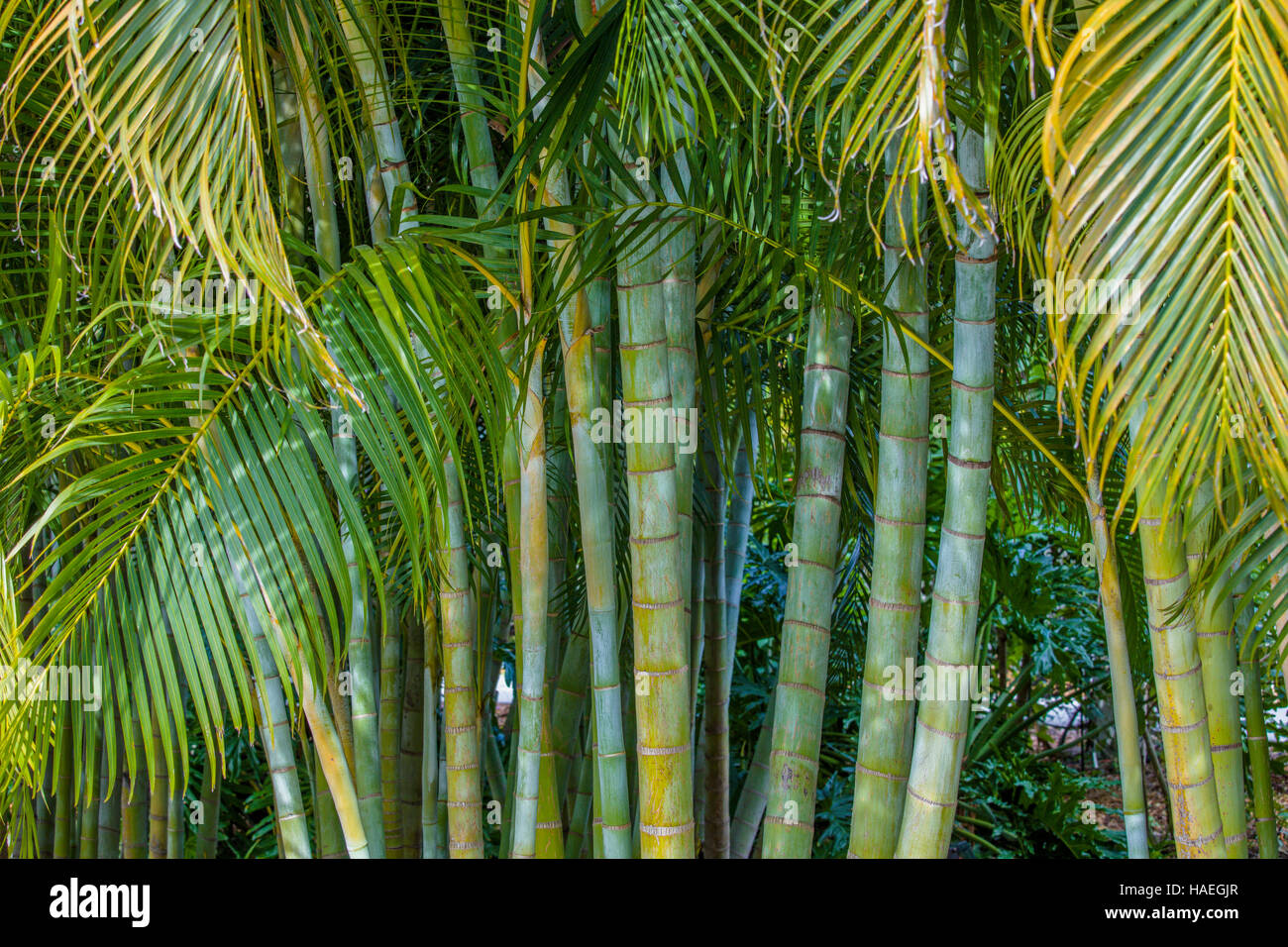 Yellow Palm Areca Palm Chrysalidocarpus Lutescens Areca Palm Dypsis Lutescens Also Known As Bamboo Palm