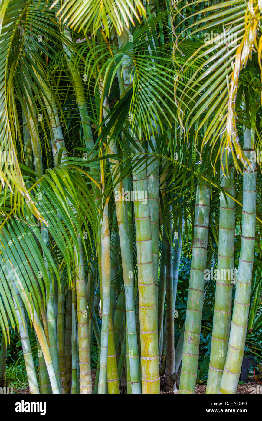 Areca Palm High Resolution Stock Photography And Images Alamy