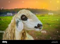 Sheep Face Stock Photos & Sheep Face Stock Images - Alamy