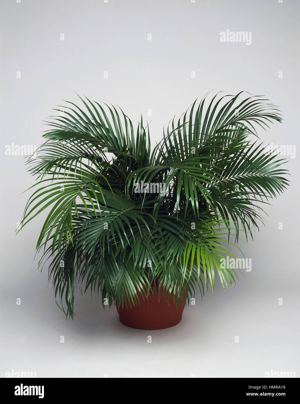 Yellow Palm Areca Palm Chrysalidocarpus Lutescens Dypsis Lutescens Stock Photos And Dypsis Lutescens Stock