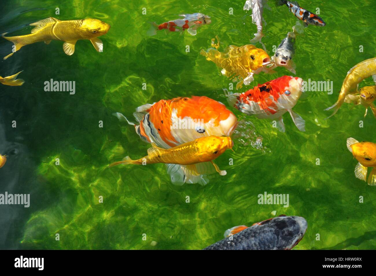 Koi Bassin Carpes Koi Dans Un Bassin Stock Photo 135159134 Alamy