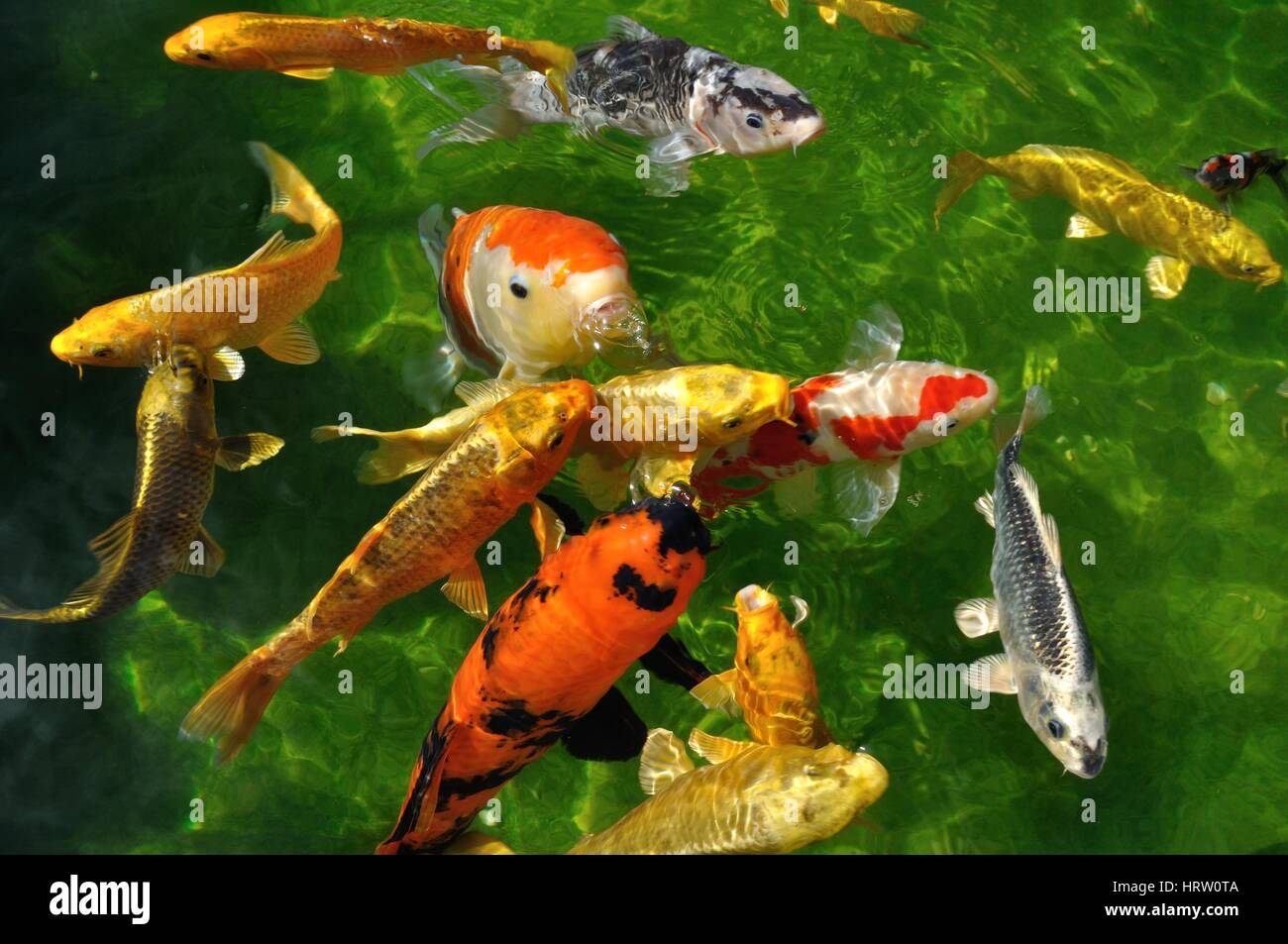 Koi Bassin Carpes Koi Dans Un Bassin Stock Photo 135159146 Alamy