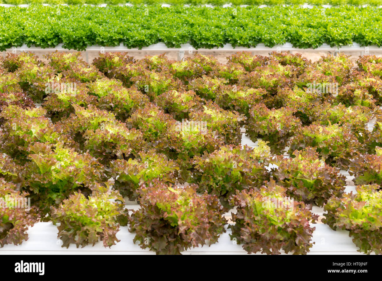 Hydroponic Dünger Lettuce Cultivation On Hydroponic System With Water And Fertilizer
