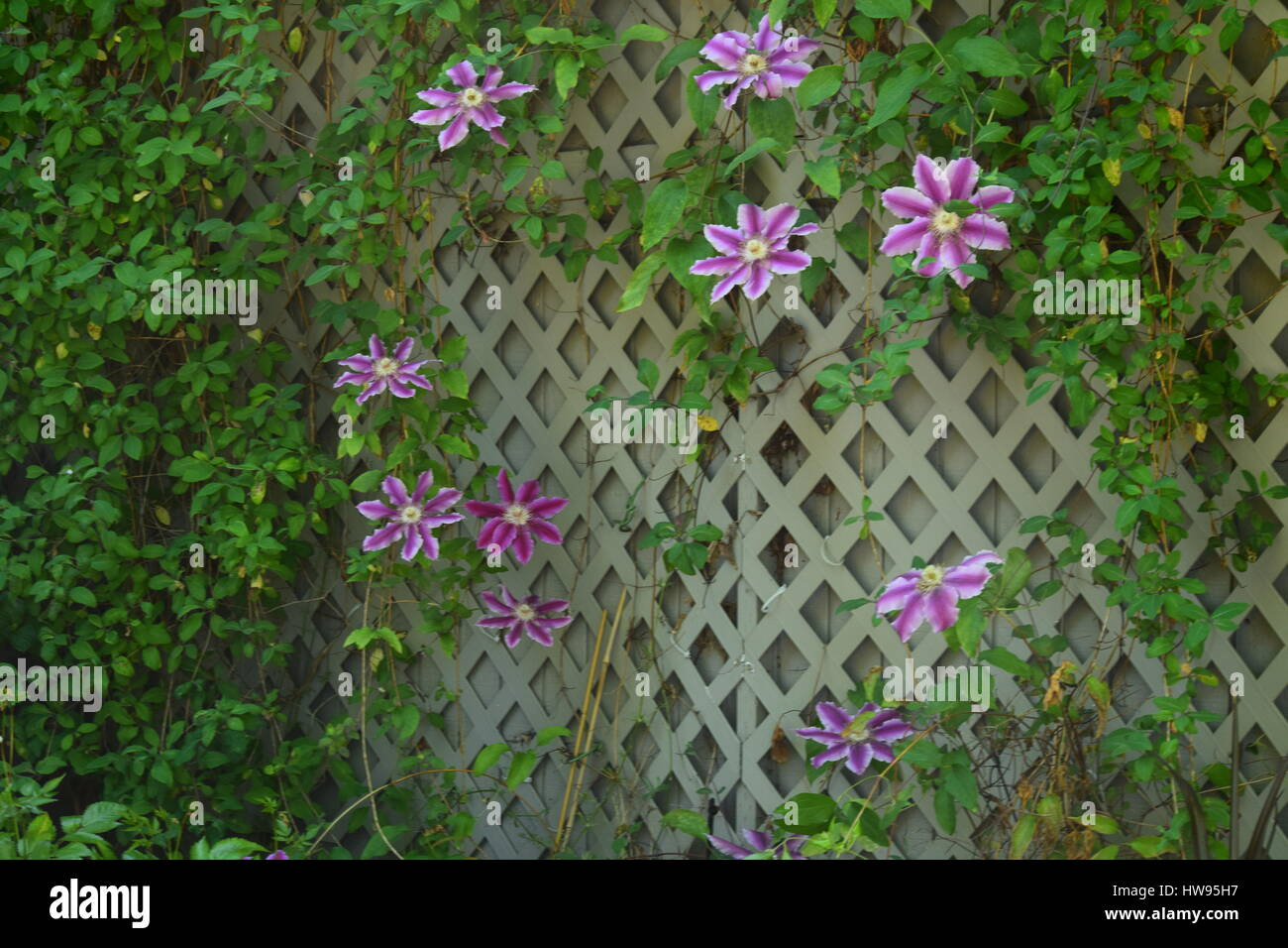 Climbing Trellis Stock Photos Climbing Trellis Stock