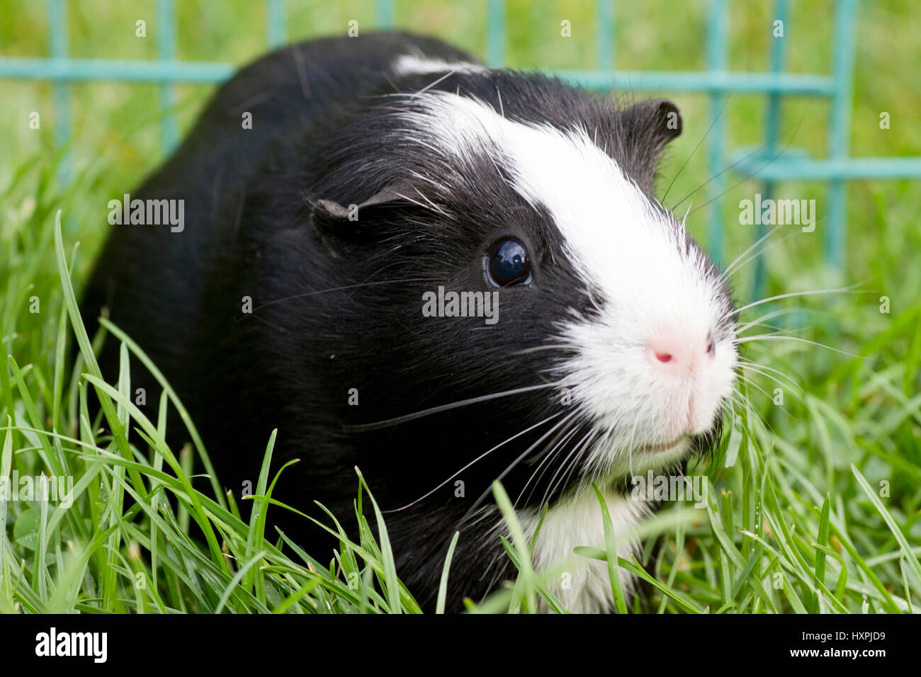 Glatthaar Guinea Pigs Smooth Hair Black And White Meerschweinchen Glatthaar