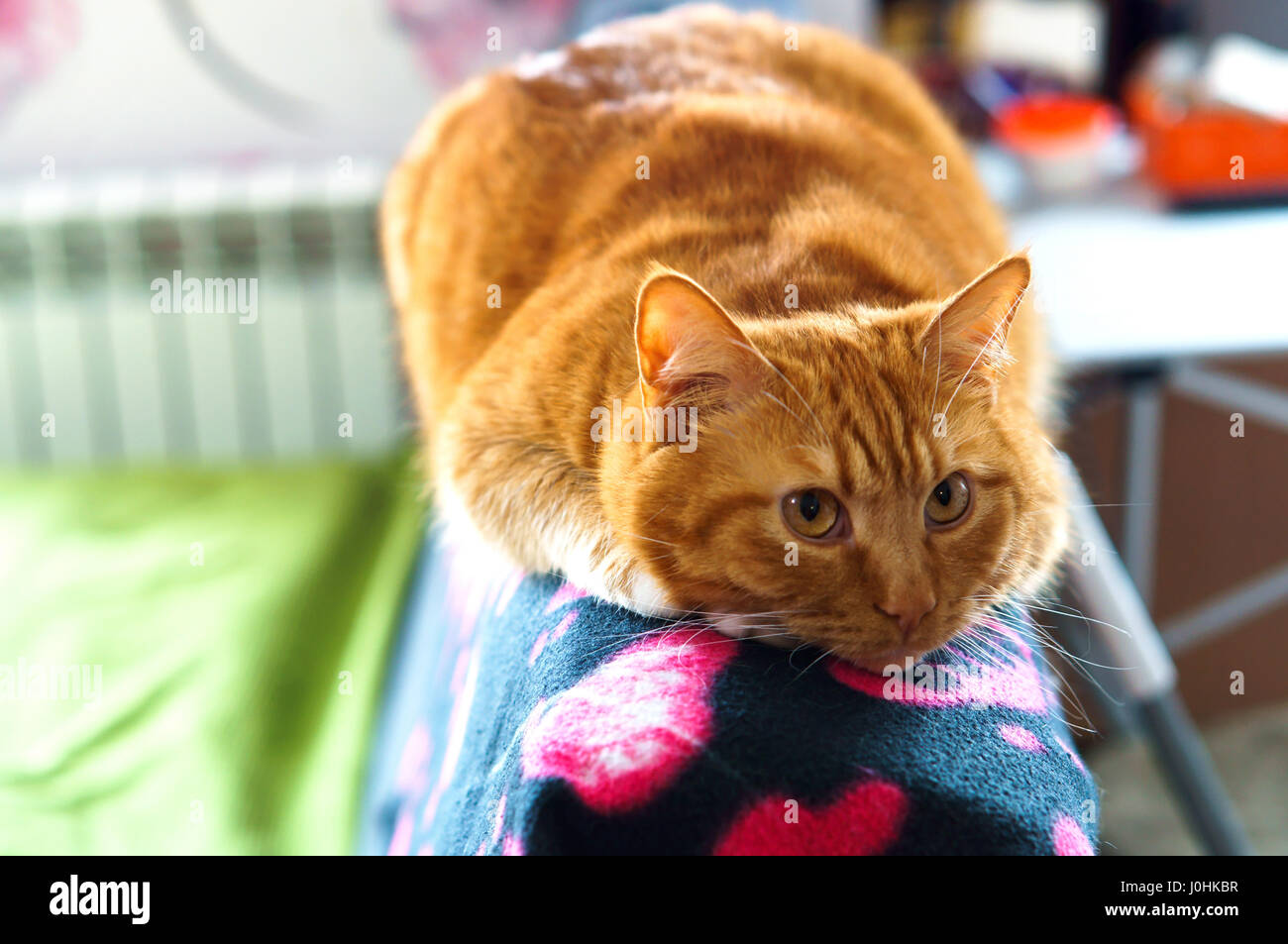 Animal Crush Cat Red Home Soft Caress Love Crush Stock Photo 138071355