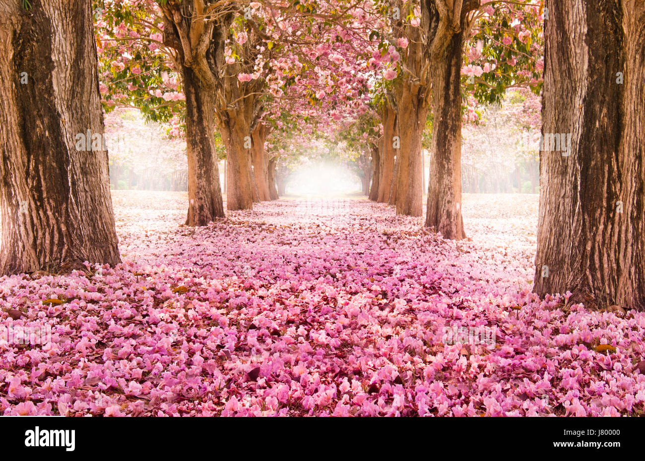 Sakura Falling Live Wallpaper Downloads Falling Petal Over The Romantic Tunnel Of Pink Flower