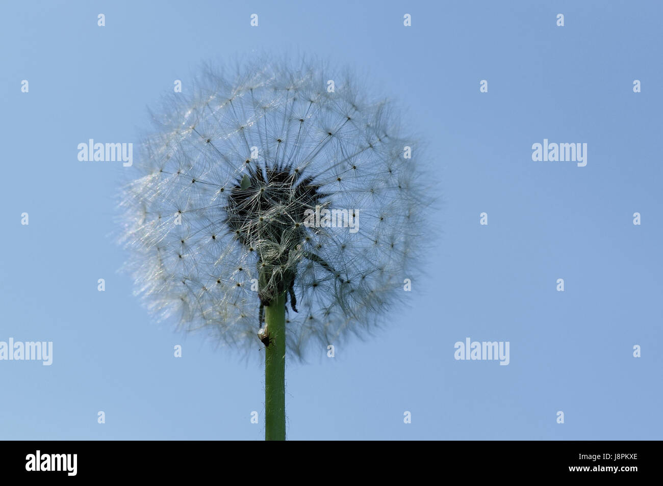 Bild Pusteblume Pusteblume With Fly Stock Photo 143098774 Alamy