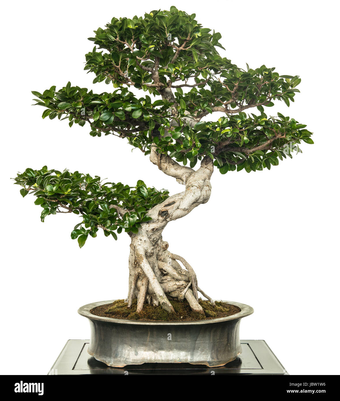 Ginseng Baum Feige Ficus Microcarpa Als Bonsai Baum Stock Photo