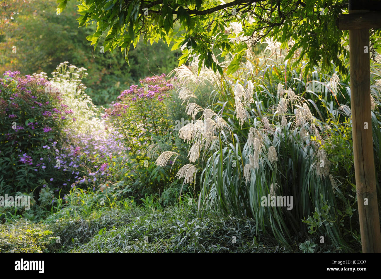 Zebra Chinaschilf Miscanthus Sinensis Zebrinus Garten U Chinaschilf Stock Photos Chinaschilf Stock Images Alamy