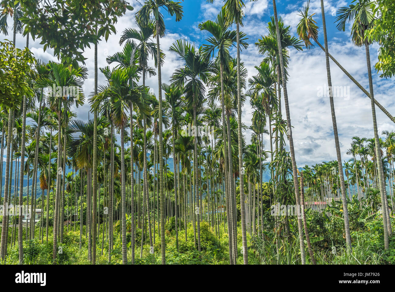 Palm Areca Areca Palm Plant Stock Photos And Areca Palm Plant Stock