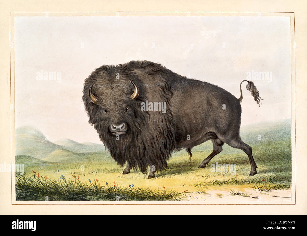 Buffalo Bettwäsche Indian Bison Stock Photos Indian Bison Stock Images Page 8 Alamy
