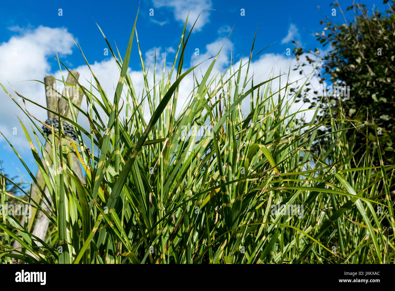 Zebra Chinaschilf Miscanthus Sinensis Zebrinus Garten U Zebra Grass Stock Photos Zebra Grass Stock Images Alamy
