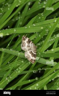 Common Carpet Moth Stock Photos & Common Carpet Moth Stock ...