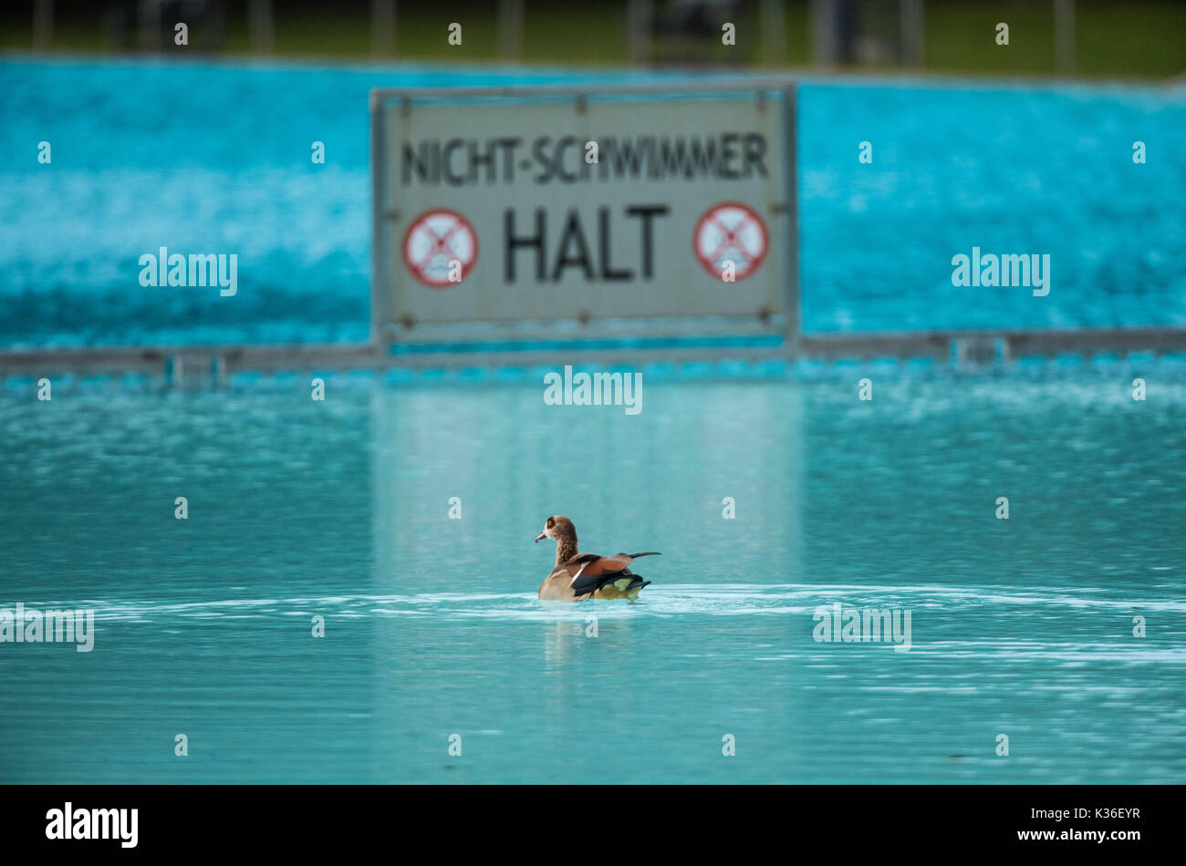 Swimming Pool Frankfurt Frankfurt Germany 01st Sep 2017 An Egyptian Goose Is Swimming