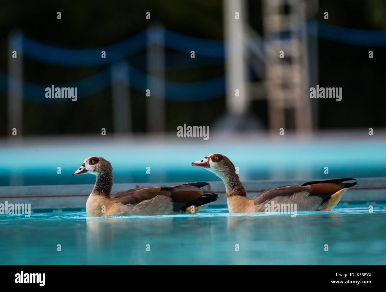Swimming Pool Frankfurt Frankfurt Germany 01st Sep 2017 Two Egyptian Geese Are