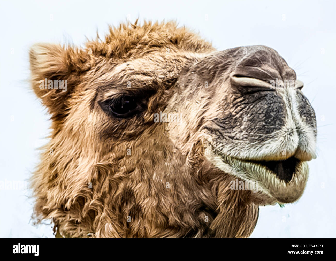 School Holidays Canberra Camel Rides At Canberra S Arboretum During School Holidays Stock
