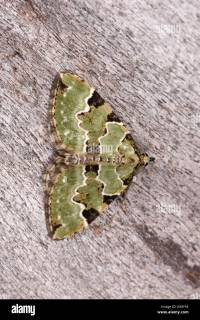 Green Carpet Moth Stock Photos & Green Carpet Moth Stock ...