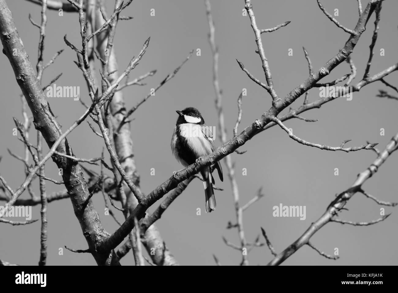 Kohlmeise Winter Singvögel Stock Photos Singvögel Stock Images Alamy