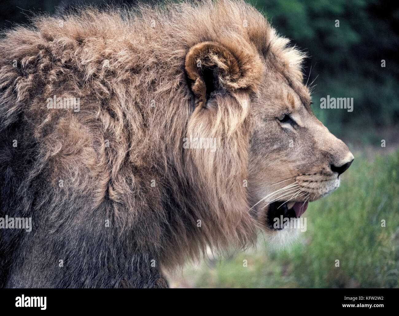This Profile Portrait Of A Male African Lion Panthera Leo Shows The Stock Photo Alamy - Glasregal Profil