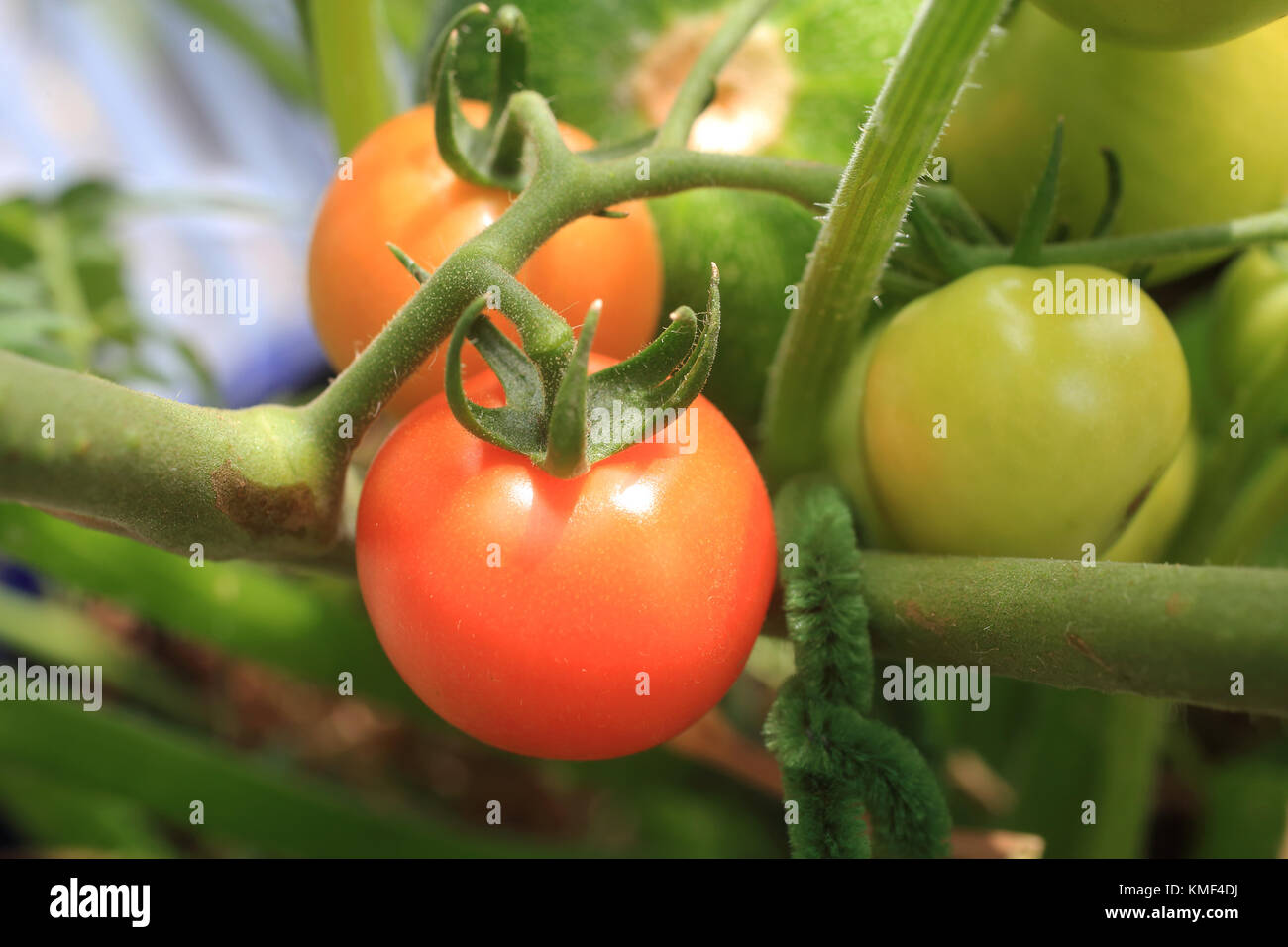 Tomato Wuppertal City Vegetable Gardening Stock Photos And City Vegetable