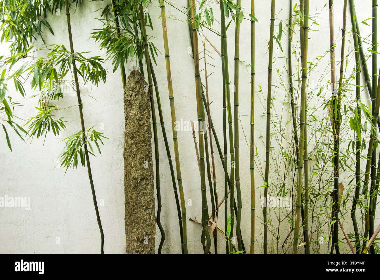 Bamboo Canada Bamboo By A Wall At Dr Sun Yat Sen Classical Chinese Garden In