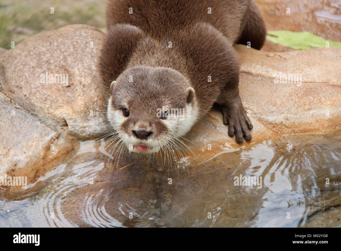 Pet Otter Australia An Otter In A Zoo In Adelaide Australia Stock Photo 172169223