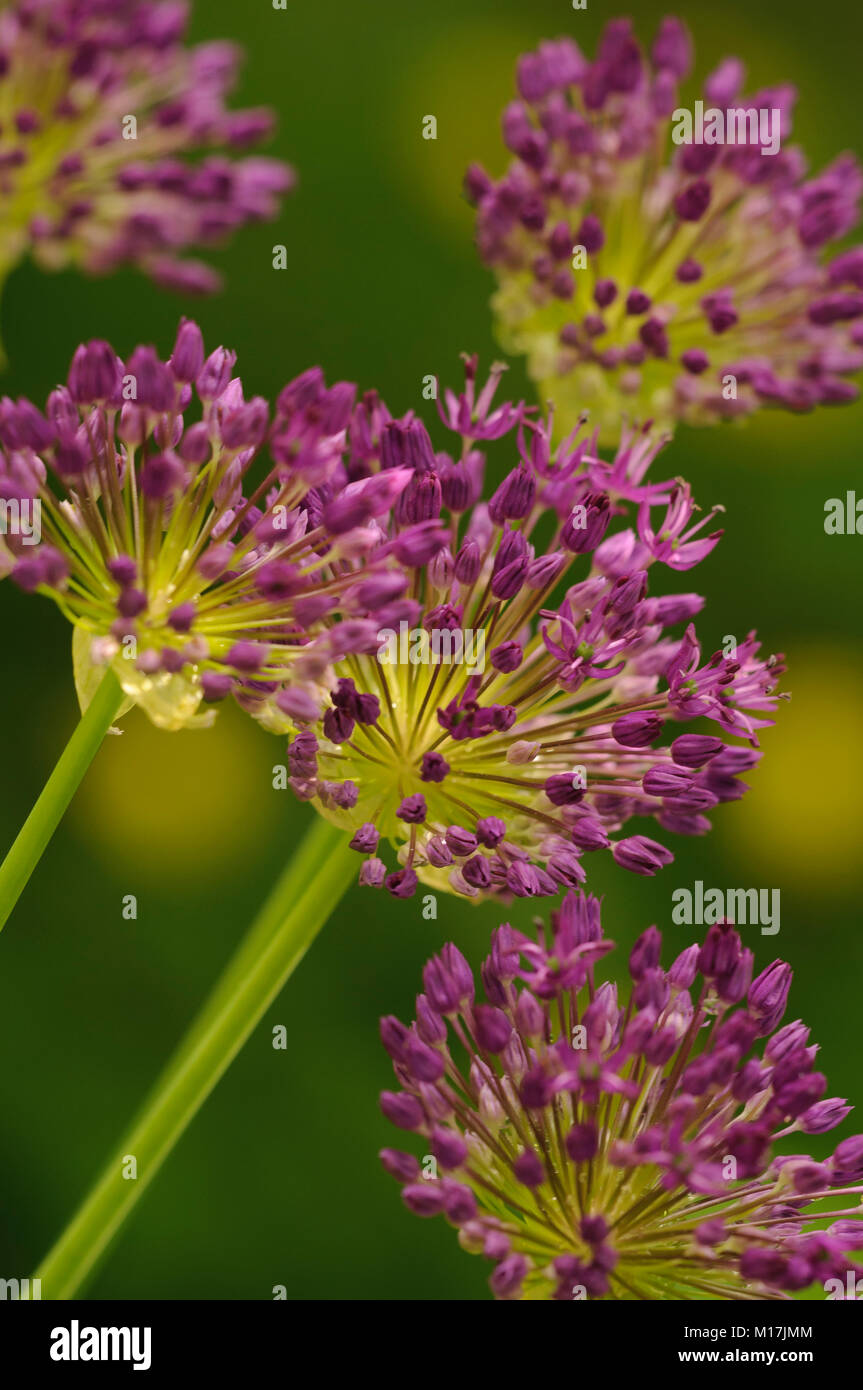 Zierlauch Allium Zierlauch Stock Photos Zierlauch Stock Images Alamy