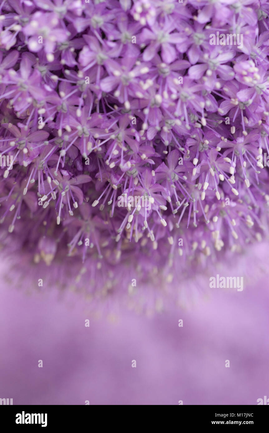 Zierlauch Allium Allium Zierlauch Allium Garlic Stock Photo 172886712 Alamy