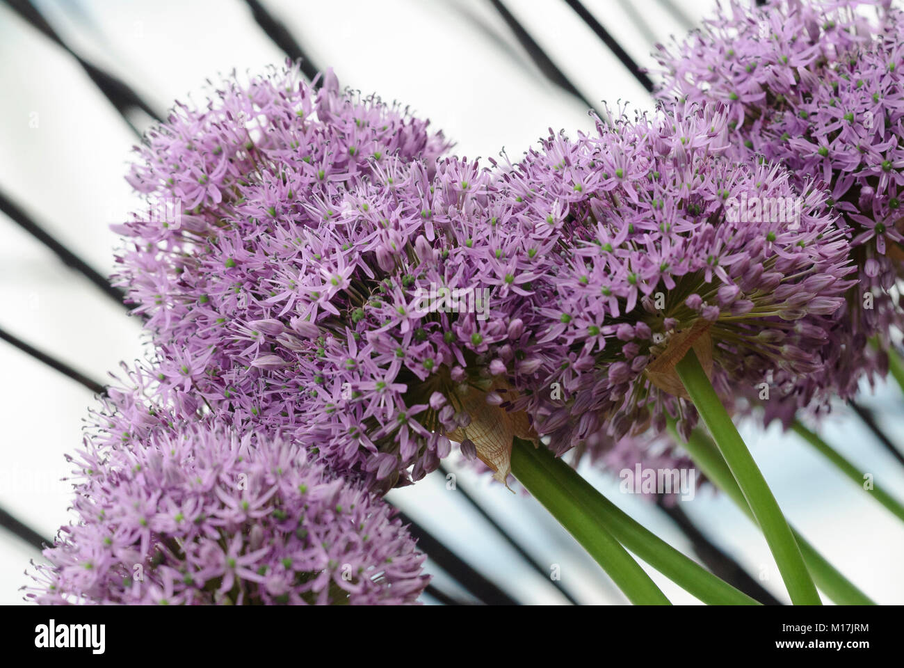 Zierlauch Allium Allium Zierlauch Allium Garlic Stock Photo 172886776 Alamy