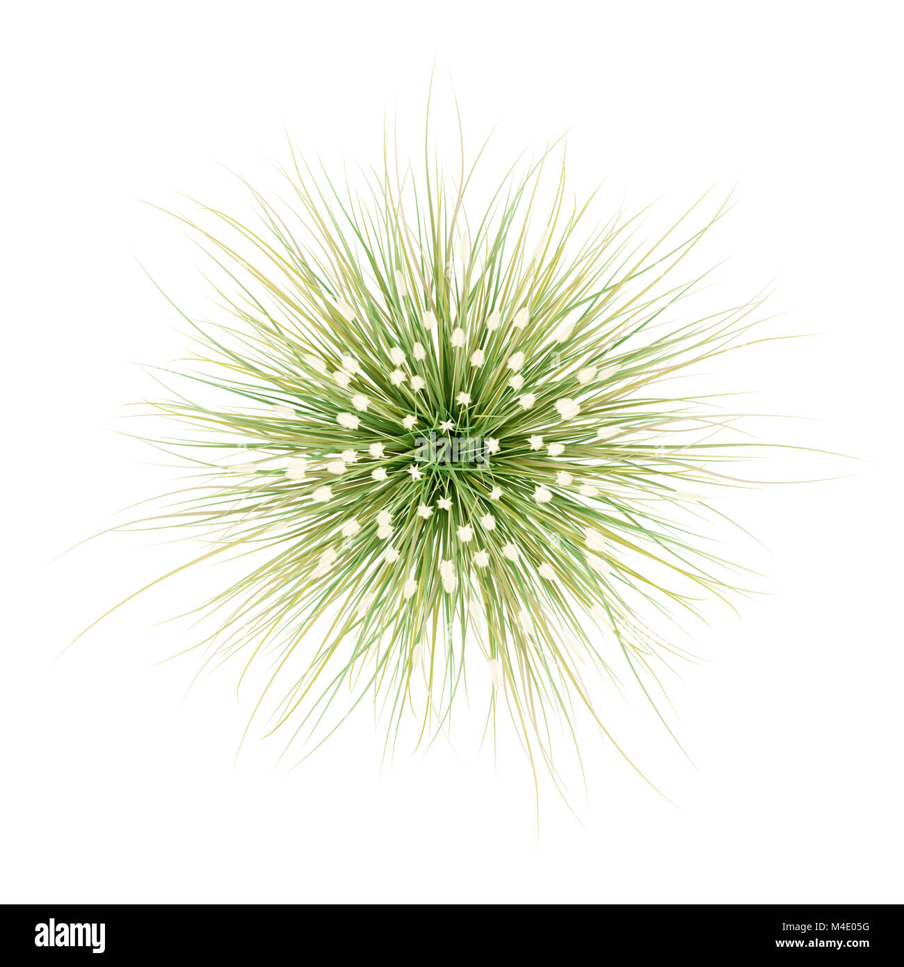 Top View Of Ornamental Grass Plant Isolated On White Background Stock Photo Alamy
