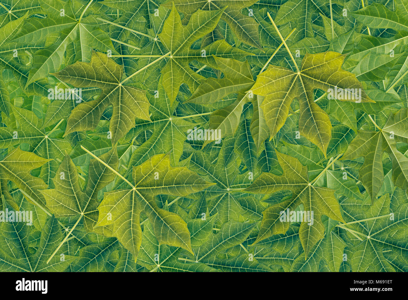 Herbal Wallpaper Background And Wallpaper Or Texture Of Pile Of Green Leaves Chaya