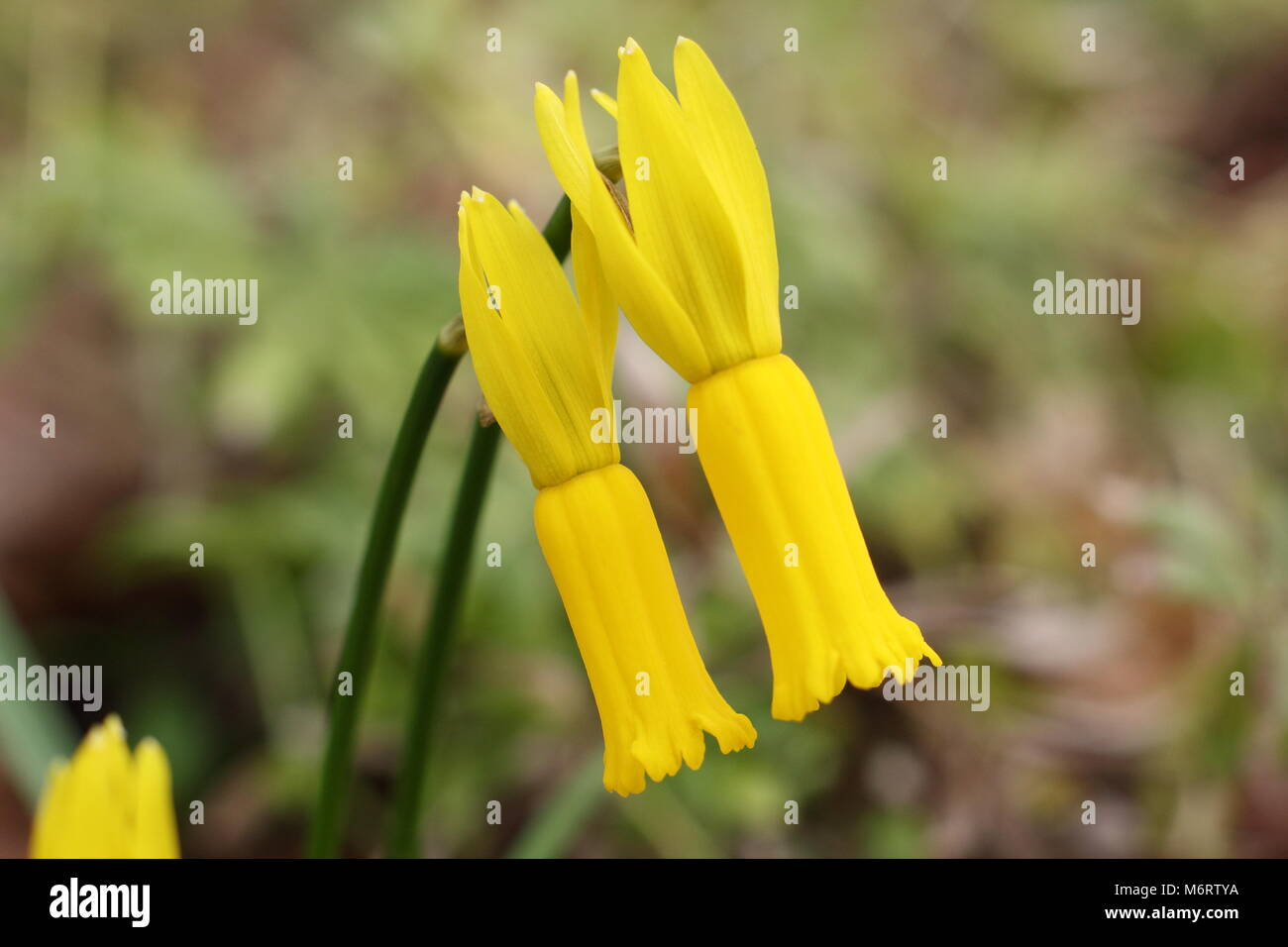 Narcissus Cyclamineus Winter Narcissus Stock Photos And Winter Narcissus Stock