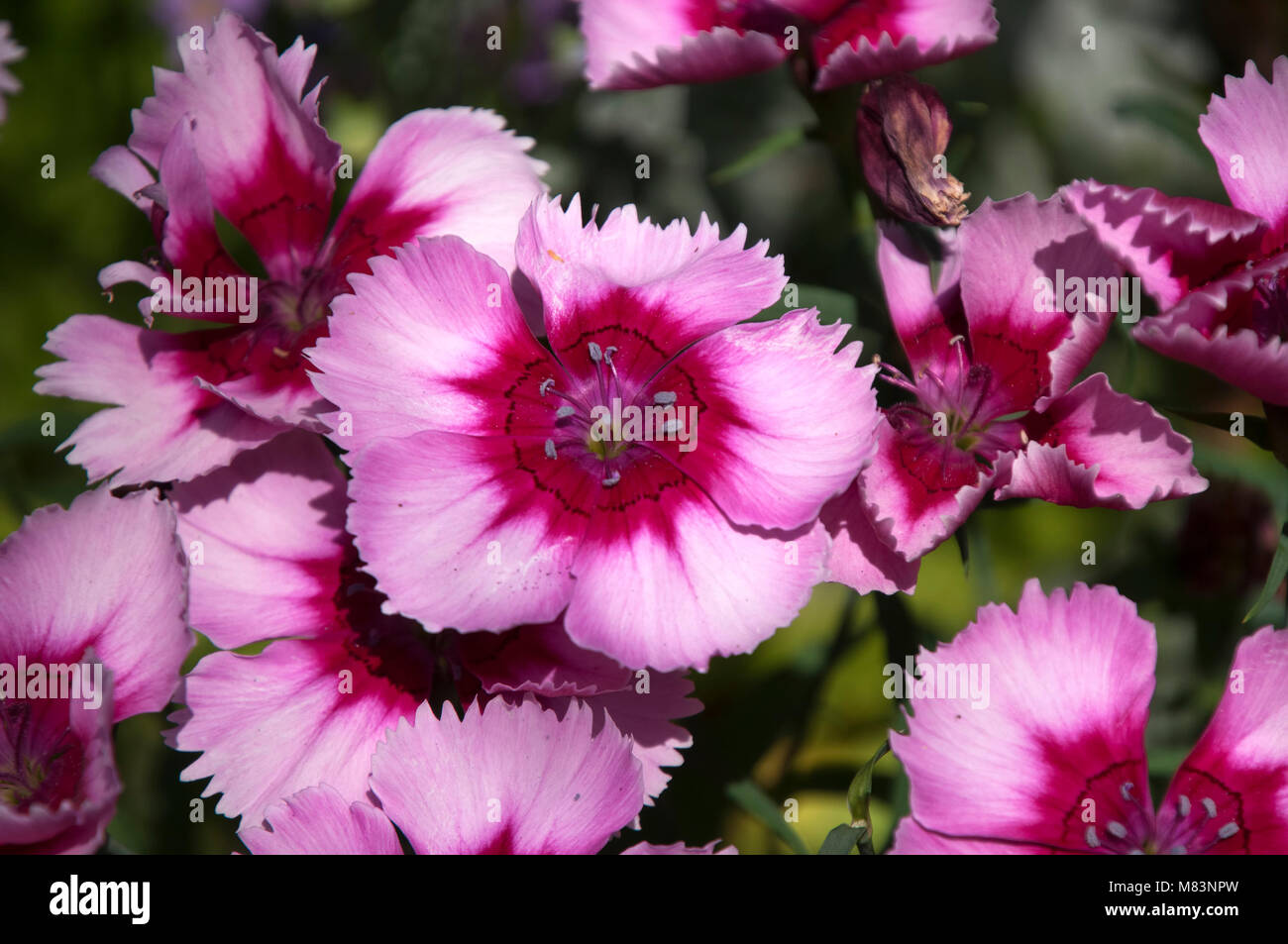 Pink Flowers Australia Sydney Australia Pink Flowers Of Sweet William Plant Stock Photo
