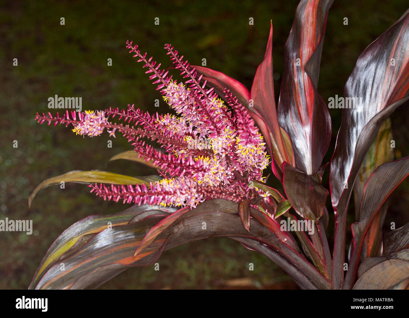 Red Cordyline Flower Spike Indoor Plants,gardening,australia,australian,australian