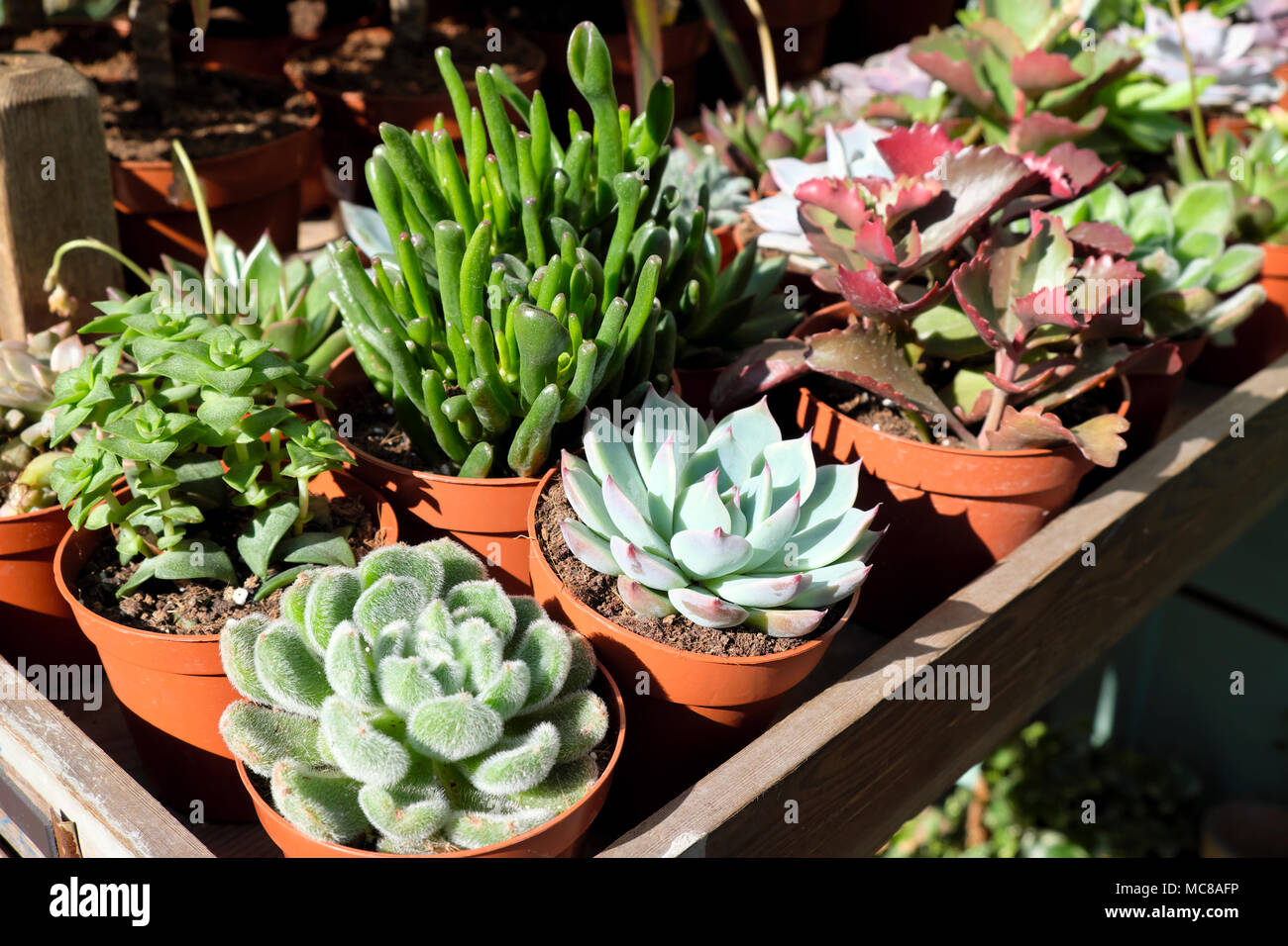 Small Succulent Plants For Sale Succulents House Plants Stock Photos And Succulents House
