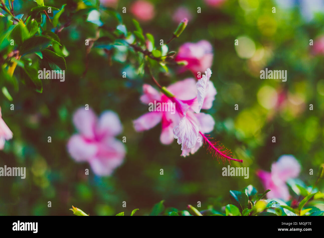 Pink Flowers Australia Exotic Subtropical Hibiscus Trees With Pink Flowers In Bloom Shot