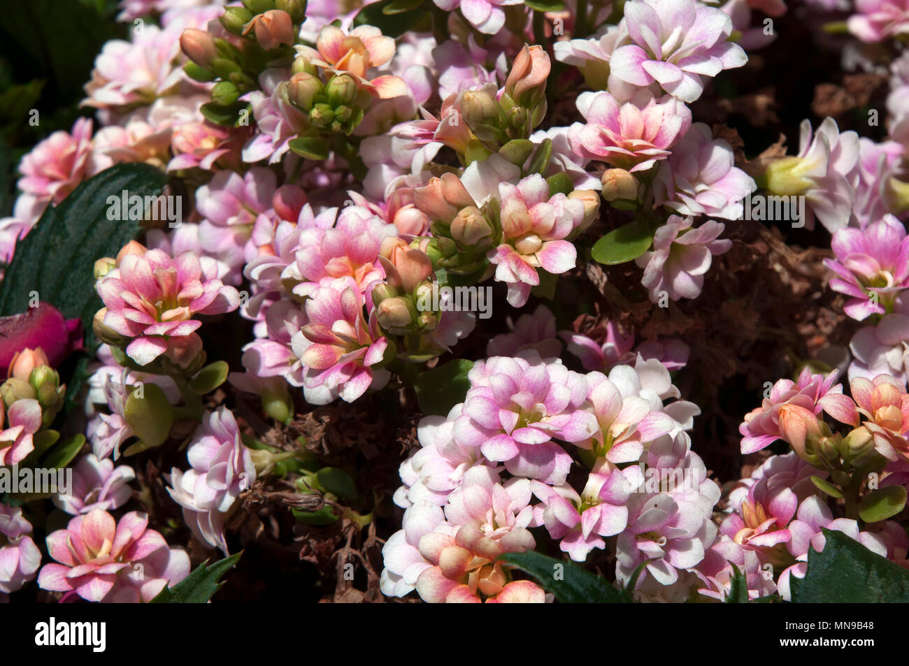 Pink Flowers Australia Sydney Australia Shrub With Small Pink Flowers Stock Photo