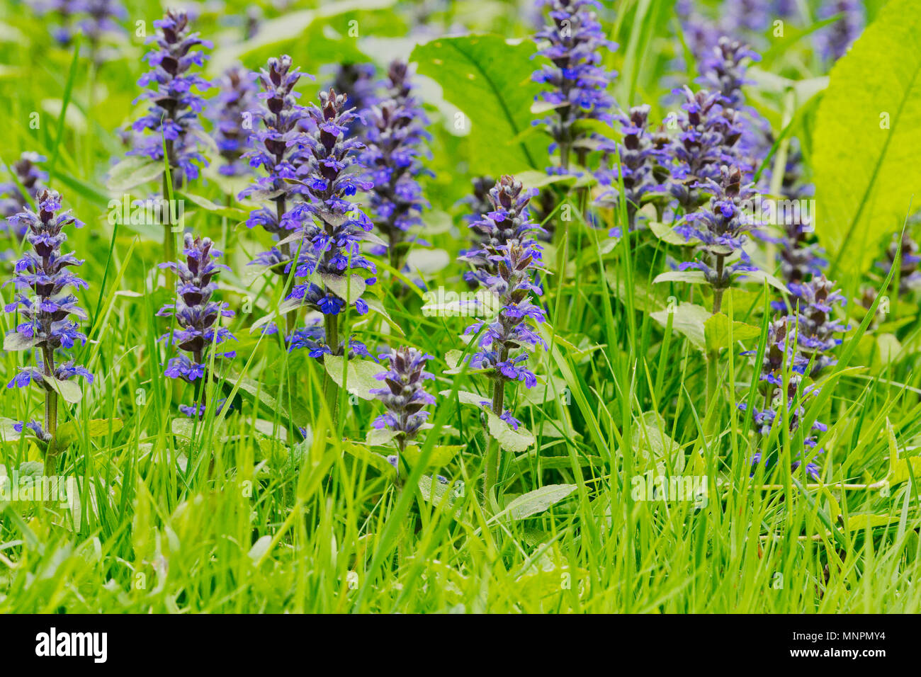 Aconitum Flower Price Genevensis Stock Photos & Genevensis Stock Images - Alamy
