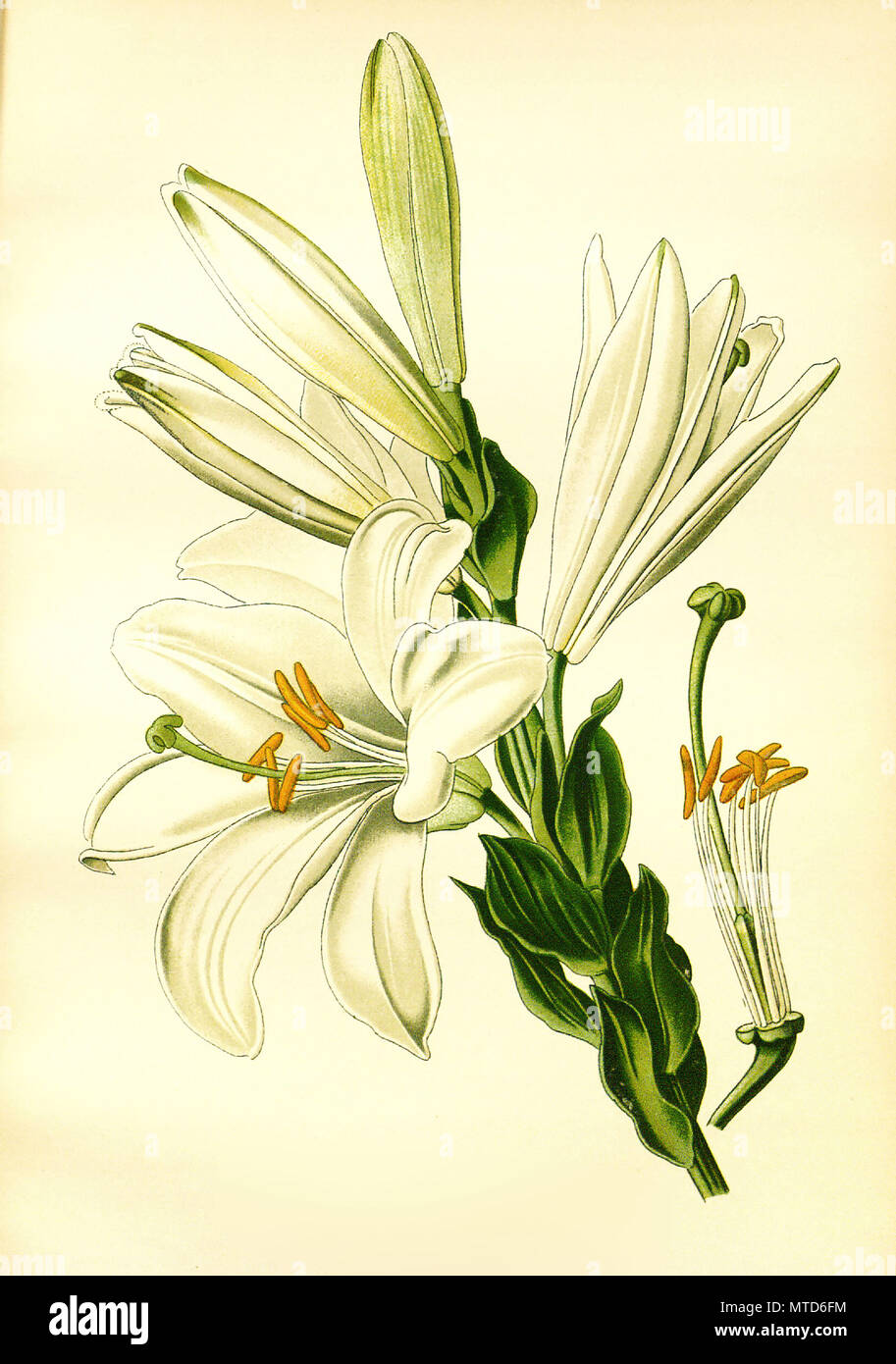 Lilium Candidum White Or St Josephs Lily Madonna Lily Madonnen Lilie Digital Improved Reproduction From A Print Of The 19th Century Stock Photo Alamy