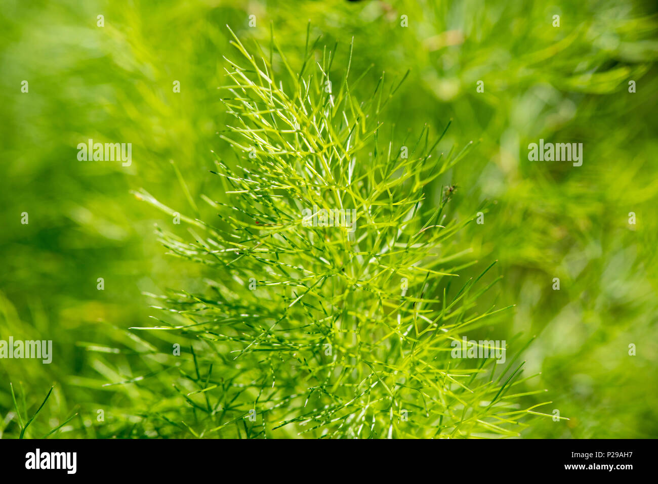 Fenchel Pflanzen Bilder Fenchel Pflanze Stock Photos Fenchel Pflanze Stock Images